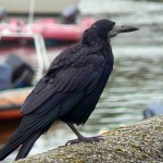Rook By Harbour