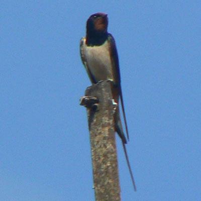 Swallow on pole
