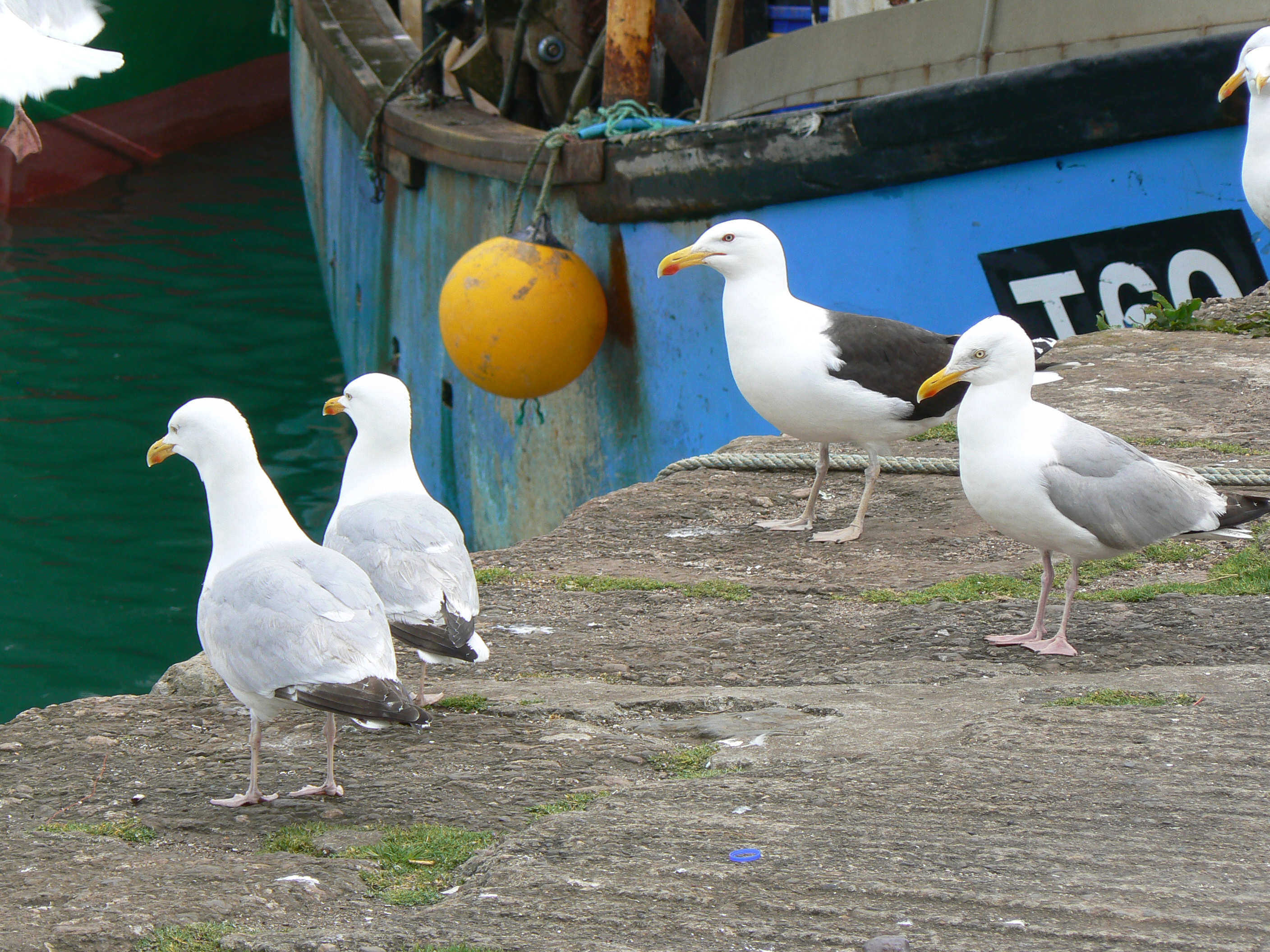 Herring gulls and Great black-backed gull